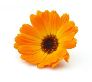Calendula Oil Recipe (Calendula Flower)